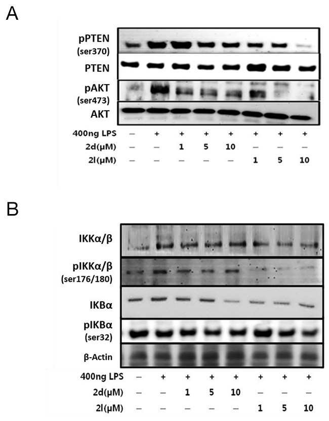 Effects of compounds 2d and 2l on AKT/NF-κB signaling in LPS-stimulated RAW264.