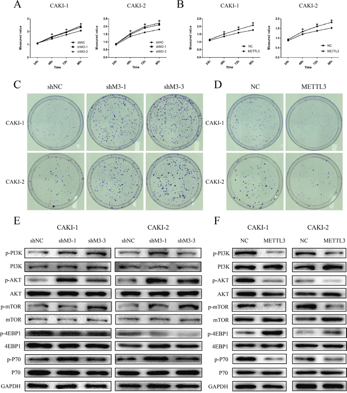METTL3 regulates cell proliferation.