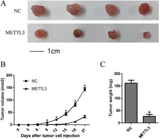 METTL3 significantly affected cellular growth in vivo.