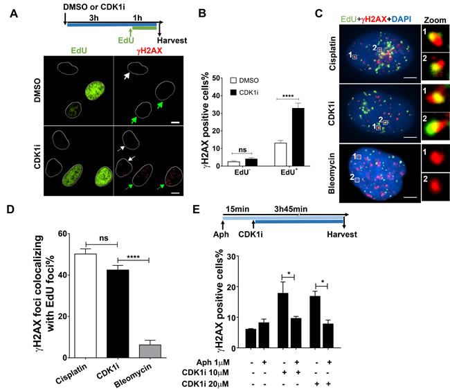 CDK1 inhibition induces a DNA damage response mainly in replicating cells.