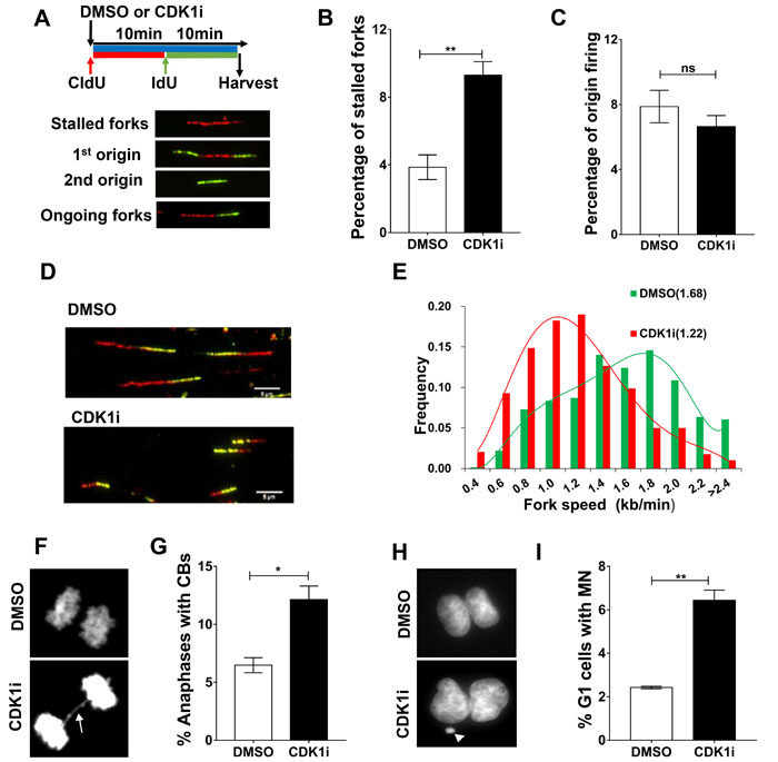 CDK1 inhibition leads to increased replication fork stalling and elevated genomic instability.