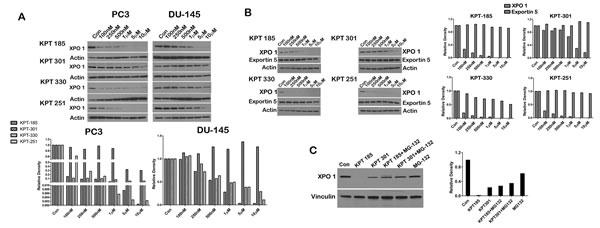SINE inhibitors cause proteasomal degradation of XPO 1.
