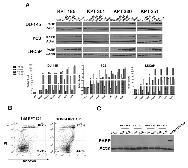 SINE inhibitors induce a dose-dependent increase in cleaved PARP.