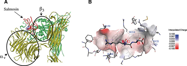 Molecular modeling between Integrin αvβ3 (PDB: 1JV2) and disintegrin salmosin (PDB: 1L3X) based on the crystal structure of αvβ3 complex (PDB: 1L5G).