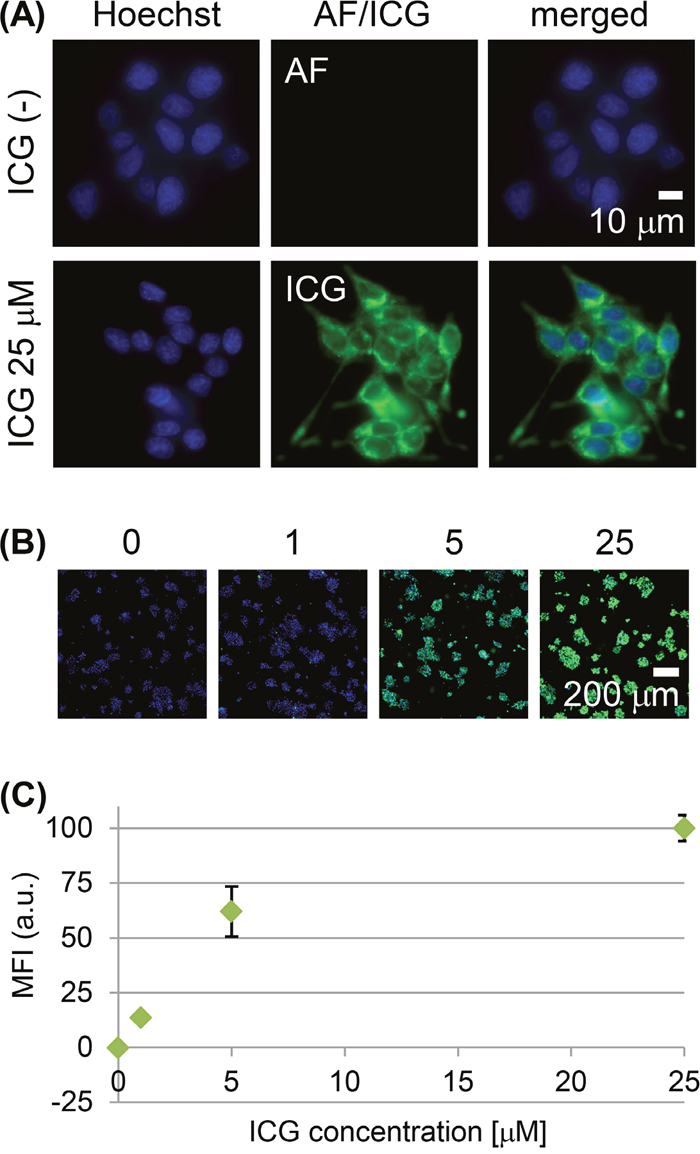 Live-cell imaging of RCN-9 cells incubated with indocyanine green (ICG).