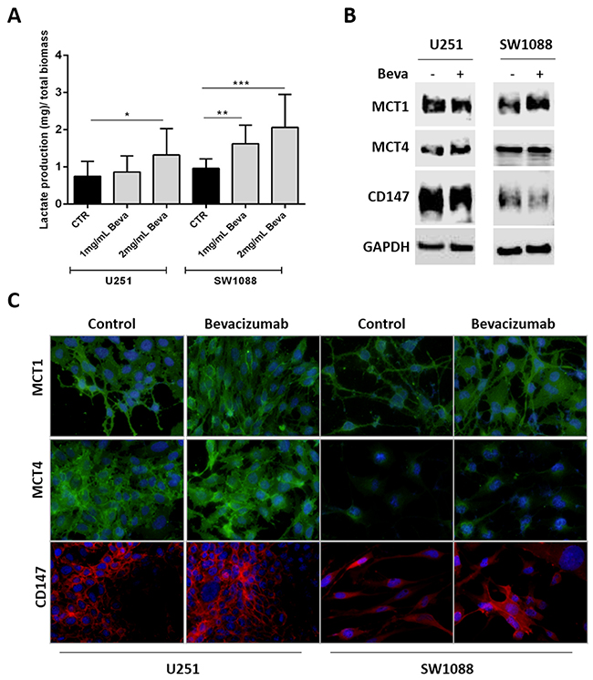 Modulation of lactate production and transport in Bevacizumab treated GBM cells.