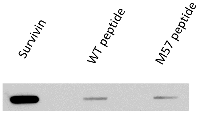 Binding of antibody (60.11) used in imaging flow cytometry to full-length survivin protein and to survivin vaccine peptide aa53-67/M57 and wild type peptide aa53-67.