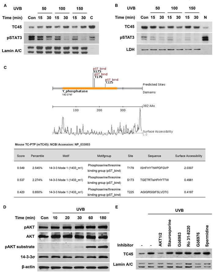 AKT regulates UVB-mediated nuclear translocation of TC45 in keratinocytes.