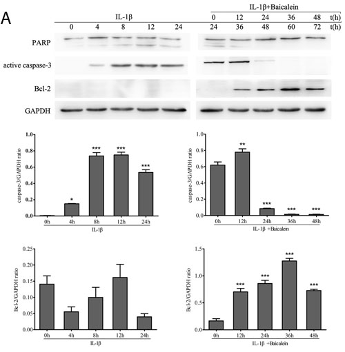 Baicalein stimulates the expression of anti-apoptotic proteins and inhibits pro-apoptotic gene products in chondrocytes.