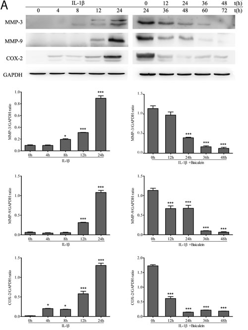 Up-regulation of pro-inflammatory enzymes by IL-1β in chondrocytes is inhibited by baicalein.