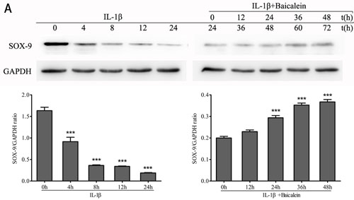 Effects of baicalein on IL-1β-induced inhibition of SOX-9 production in chondrocytes.