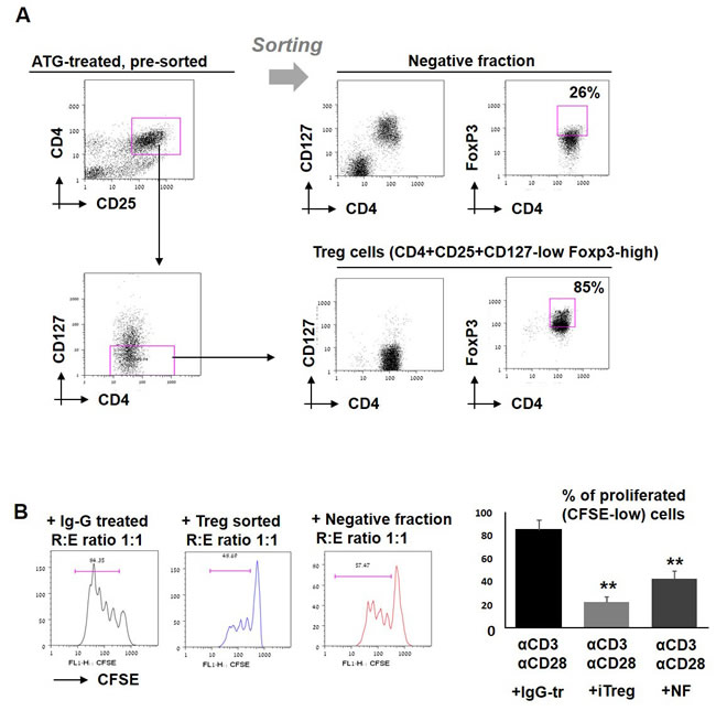 Effect of sorted iTreg cells on T cell proliferation.