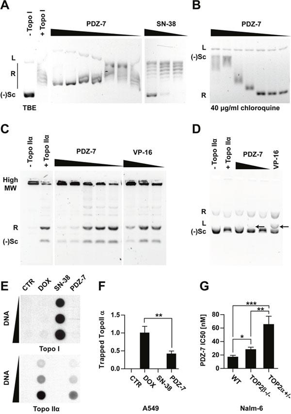 Anthrapyridazone PDZ-7 is topoisomerase IIα inhibitor.