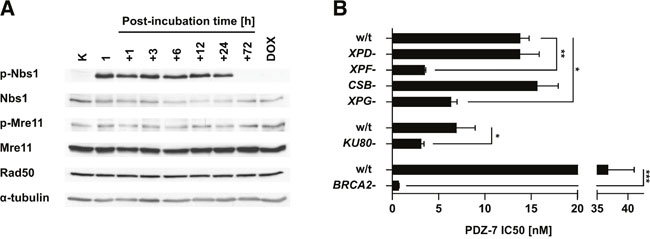 PDZ-7 induces DNA damage response and is selectively cytotoxic towards DNA repair-deficient cells.