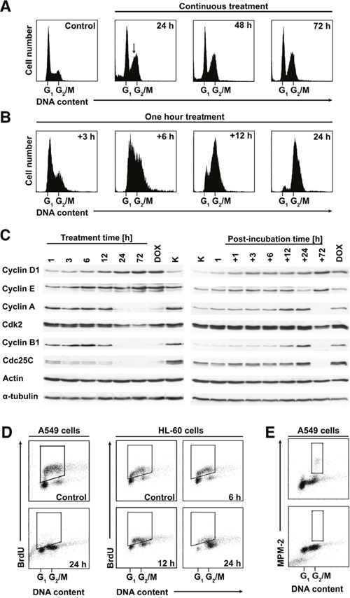 PDZ-7 induces unusual perturbations in cell cycle.