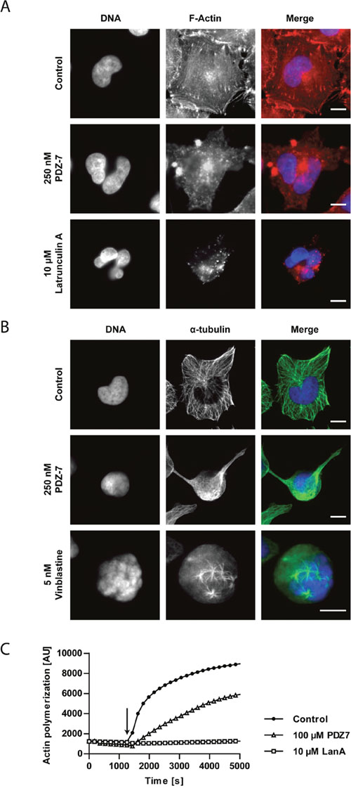 PDZ-7 causes cytoskeleton destabilization in A549 cells.