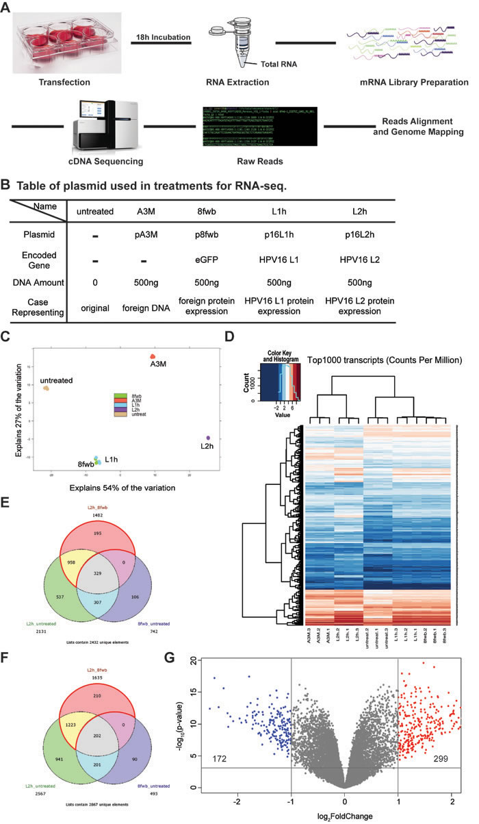 Expression of HPV16 L2 leads to up-regulation of 299 genes and down-regulation of 172 genes.