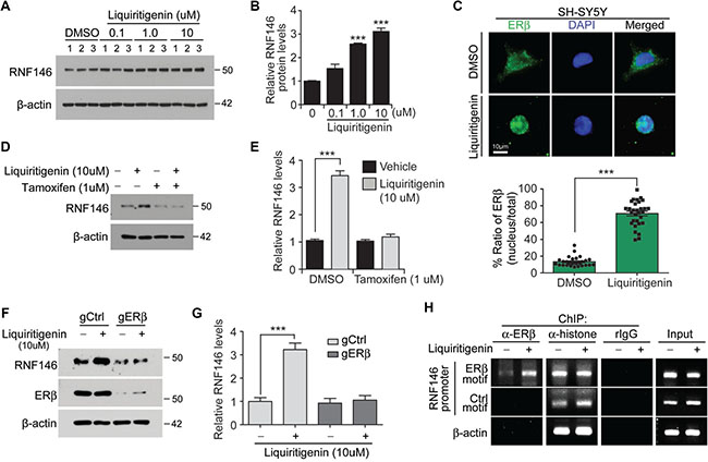 Liquiritigenin induces RNF146 expression via ER activation.