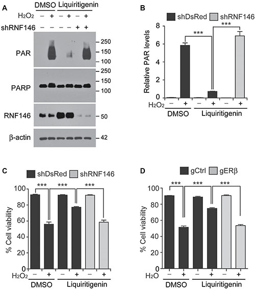 RNF146 and ERβ are required for liquiritigenin-mediated cytoprotection.