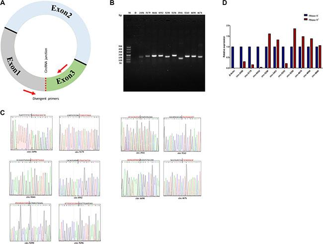 Verification of circRNAs data from RNA-sequencing.