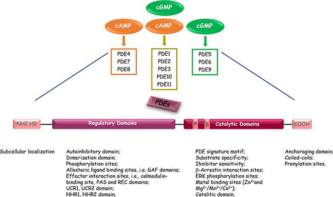 Oncotarget | Phosphodiesterase type 5 and cancers: progress