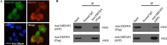 MRFAP1 is associated with FBXW8.