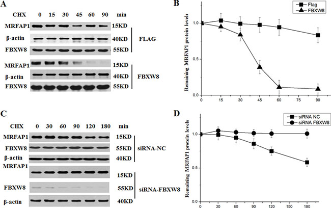 FBXW8 regulates the stability of MRFAP1.