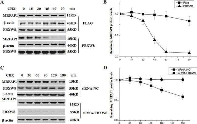 FBXW8 regulates the stability of MRFAP1.