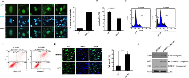 Overexpression of MRFAP1 causes mitotic aberrations and cell death.