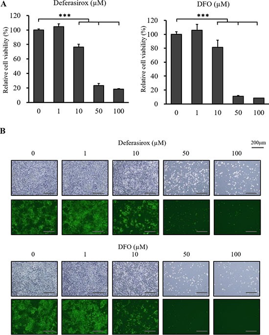 The inhibitory effect of deferasirox and DFO on miPS-LLCcm cells in vitro.