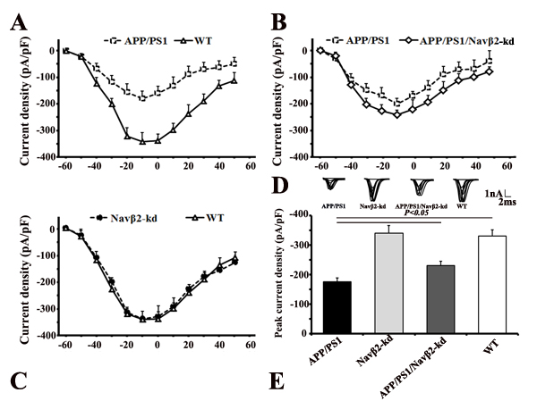 Navβ2 knockdown recovered sodium currents in APP/PS1 Tg mice.