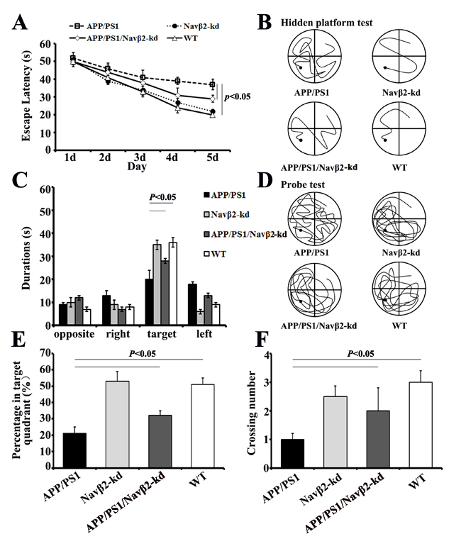Spatial learning and memory were improved in APP/PS1/Navβ2-kd Tg mice.