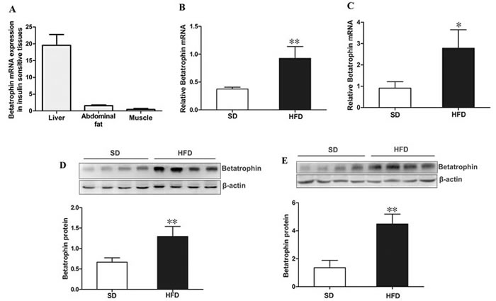 Expression of betatrophin at mRNA and protein levels in mice.