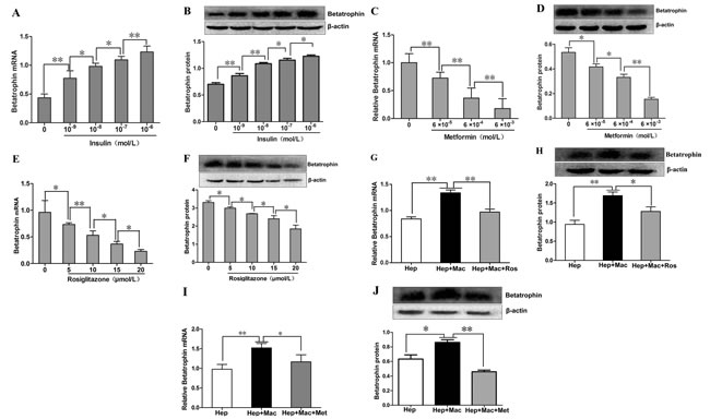 The effects of insulin, metformin and rosiglitazone on the expression of betatrophin in mouse hepatocytes and the hepatocyte/macrophage co-culture systems.