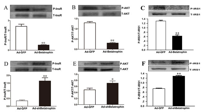 The effects of betatrophinexpression on insulin signaling in hepatocytes with insulin stimulation.