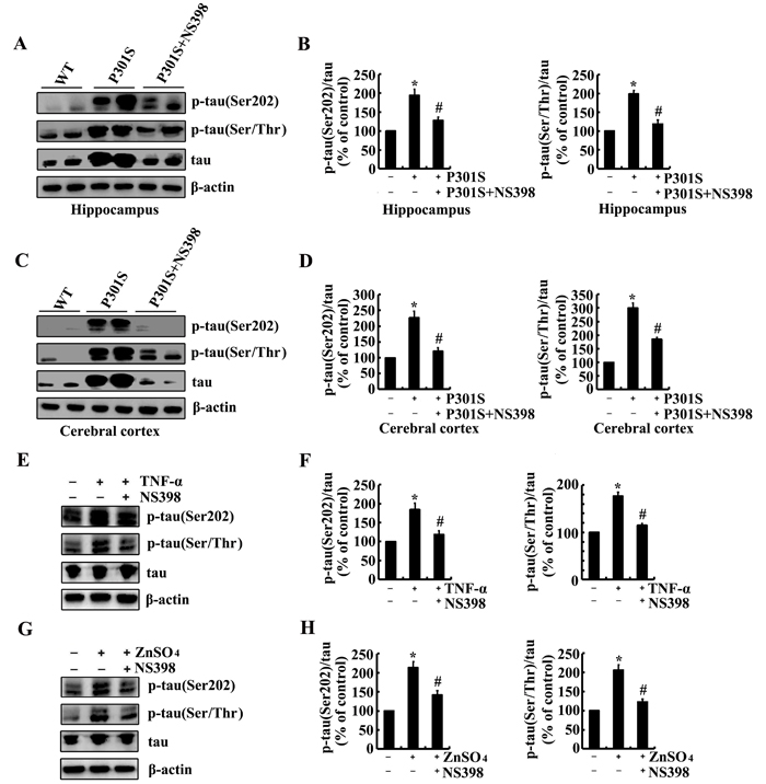 NS398 treatment decreases the phosphorylation of tau at the sites of Ser 202 and Ser 400/Thr 403/Ser 404 in 6-month-old Tau