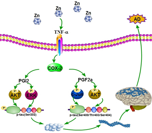 Proposed events of the signaling cascade regulate the pathogenesis of AD.