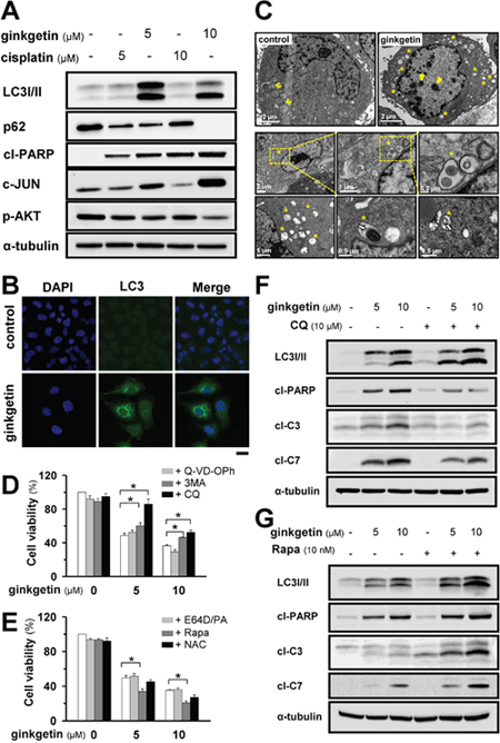 Ginkgetin induces autophagy responsible for cell death in A549.
