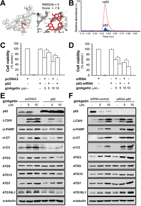 Ginkgetin-induced autophagosome formation is mediated by p62.