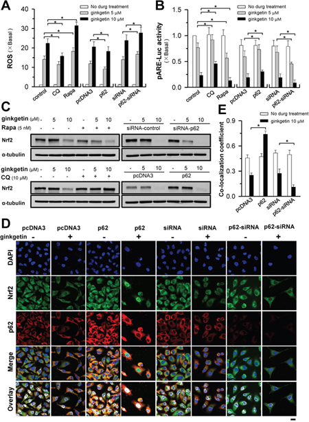 Ginkgetin-reduced Nrf2/ARE activity and ROS formation are mediated by p62.