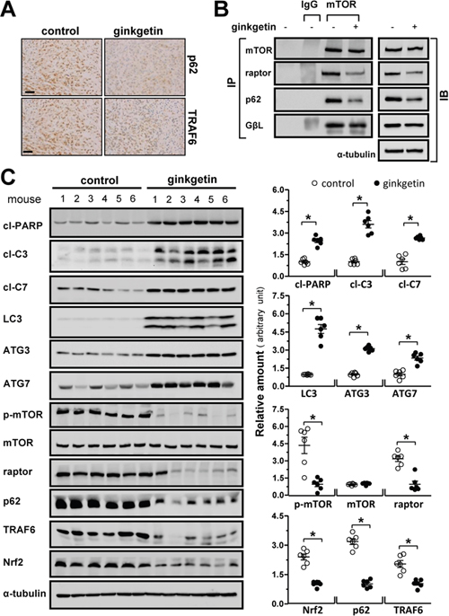 Ginkgetin increases autophagic makers and decreases mTOC1 and p62/Nrf2 level in vivo.