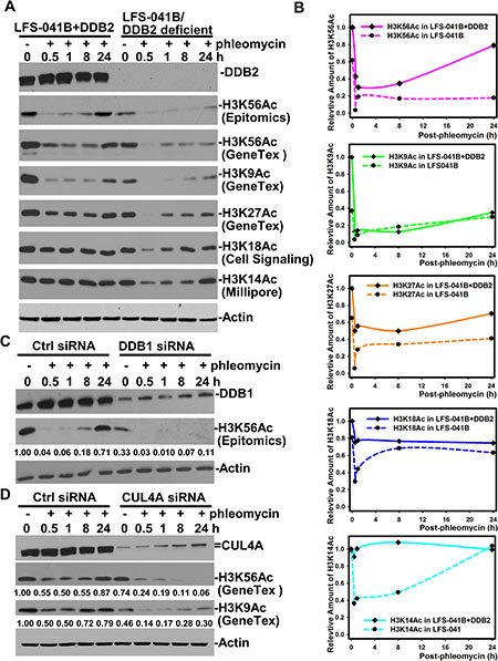 Oncotarget | Human CRL4 DDB2 ubiquitin ligase preferentially