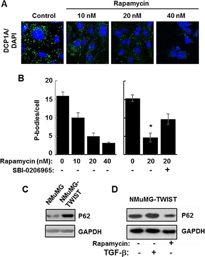 Autophagy promotes P-body clearance.