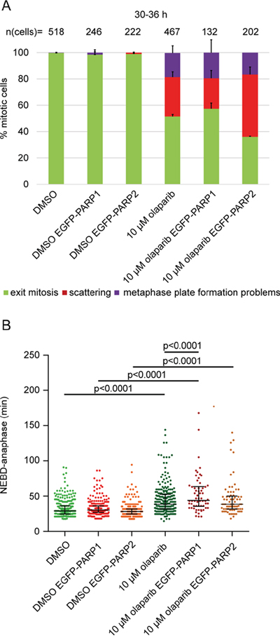 PARP2 overexpression exacerbates olaparib-induced scattering.
