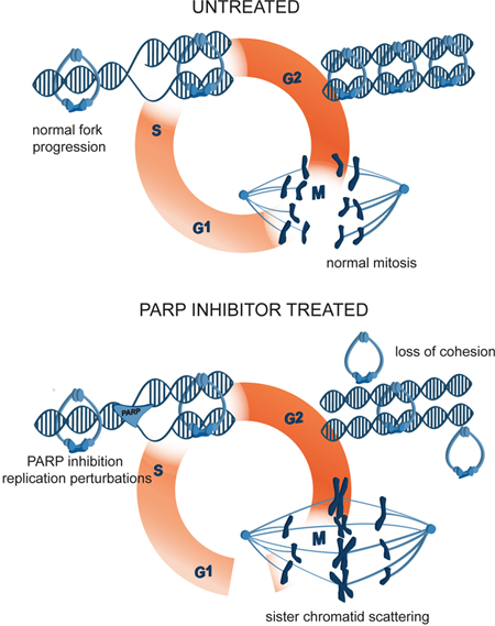 A model of mitotic cell death caused by premature loss of cohesion due to PARP inhibition with olaparib.