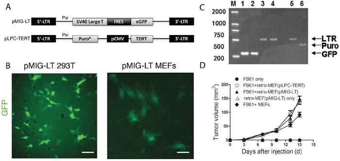Production of a fibroblast library with shotgun gene mutations (retro-MEFs).