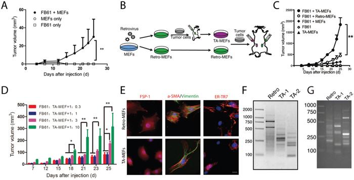 In vivo discovery of tumor-associated genes in TA-MEFs.