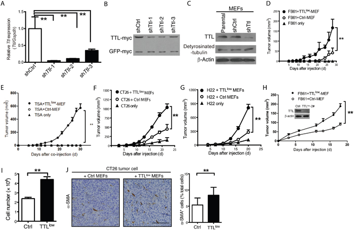 Promoted tumor growth by suppressed stromal Ttl expression.