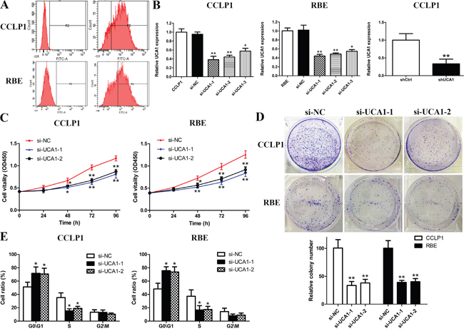 UCA1 depletion inhibits cell growth in CCA cells.