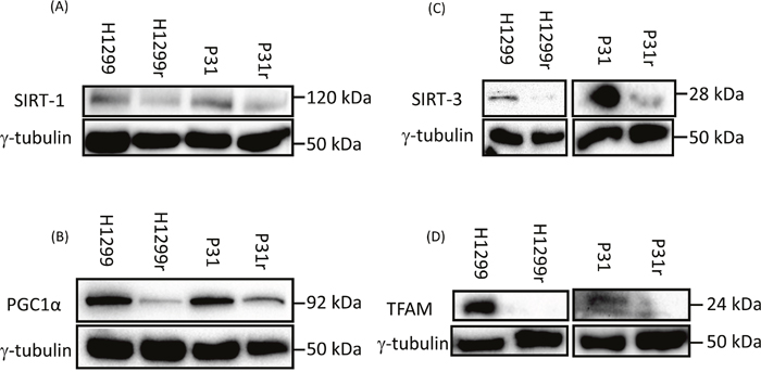 Expression of the mitochondrial biogenesis proteins: SIRT1, PGC1α, TFAM and SIRT3 in H1299, H1299r, P31 and P31r cell lysates as determined by immunoblot analysis.
